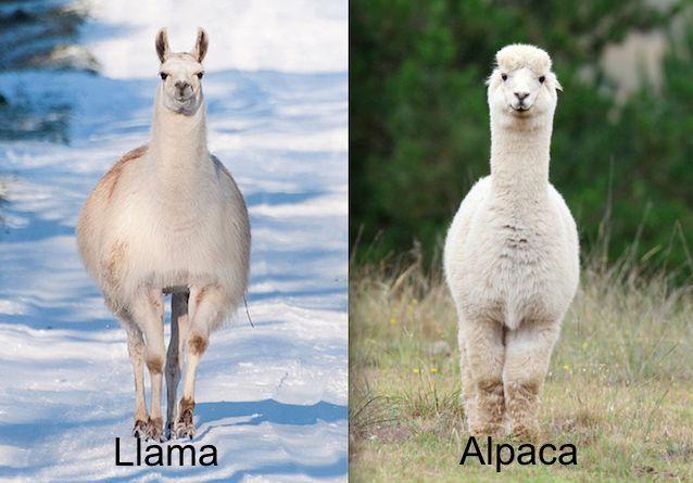 lhamas e alpacas - viajar para o chile