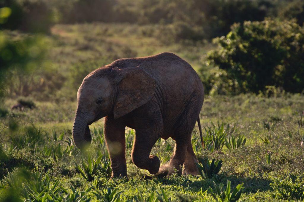 Encontrar um baby elephant durnte um safari na africa - travel bucket ist